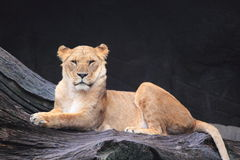 Lionness. Lioness (Panthera leo) sitting on trunk Royalty Free Stock Photo