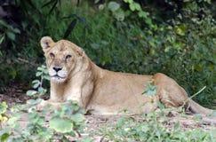 Lionness obsiadanie na cieniu Obrazy Royalty Free