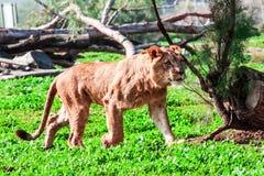 Lionness Stock Photo