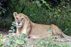 Lionness sitting on shade. Lioness sitting on shades after meal royalty free stock images