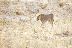 Lionness wondering the hot African savannah Stock Photos