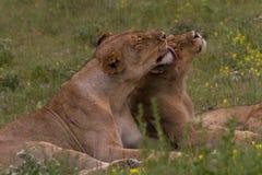 Lionness y su cachorro Fotografía de archivo