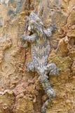 lionotum de glissement soutenu par lisse de gecko ou de Ptychozoon Image libre de droits