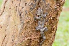 lionotum de glissement soutenu par lisse de gecko ou de Ptychozoon Photo stock