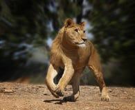 lionrunning fotografering för bildbyråer