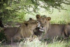 Lions étonnants se reposant et caressant dans le buisson de la réservation de Moremi Images libres de droits
