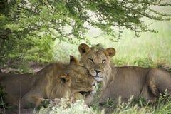 Lions étonnants se reposant et caressant dans le buisson de la réservation de Moremi Photographie stock libre de droits