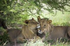 Lions étonnants se reposant et caressant dans le buisson de la réservation de Moremi Photos stock