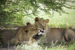 Lions étonnants se reposant et caressant dans le buisson de la réservation de Moremi Photos libres de droits