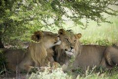 Lions étonnants se reposant et caressant dans le buisson de la réservation de Moremi Image libre de droits