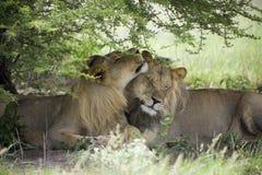 Lions étonnants se reposant et caressant dans le buisson de la réservation de Moremi Photo libre de droits
