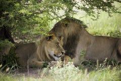 Lions étonnants se reposant et caressant dans le buisson de la réservation de Moremi Photo stock