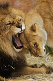 Lions. When resting, lion socialization occurs through a number of behaviors like head rubbing and social licking Stock Images
