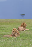 Lions. Two Lions relaxing in the Masai Mara Royalty Free Stock Image