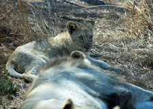 Lions. A little lion and a big one in Hlane, Swaziland Stock Photography