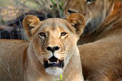 Lions Royalty Free Stock Photography