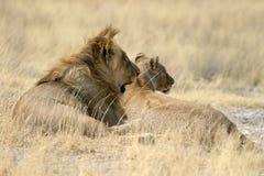 Lions. At Etosha National Park, Namibia Royalty Free Stock Photo