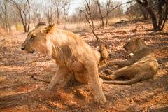 Lions Stock Photo