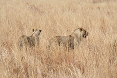Lions. In africa stalking prey Stock Photo