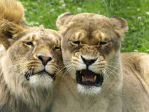 Lions Royalty Free Stock Image