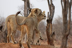 Lions. Two young lions playing together in a game reserve in Zambia Stock Images