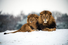 Lions. Male lions against a background of snow Royalty Free Stock Images