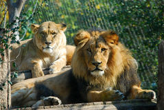 Lions Photographie stock