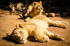 Lions. An image of South African Lions Stock Photo