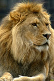 lions Royaltyfria Foton
