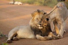 Free Lions Stock Photos - 48678053
