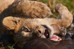 lions Royaltyfri Foto