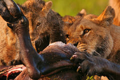 lions Arkivbild