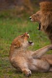 lions Arkivfoton