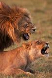lions Photos stock