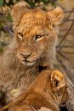 lions Photographie stock