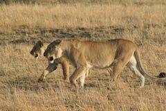 Lions. Walking,  hunting, Savanna, Maasai National Reserve, Southwestern Kenya, Africa royalty free stock images