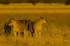 Lions. Lion family at the sunset - South Africa Royalty Free Stock Photo