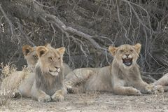 Lions. Cups lazy midday together Royalty Free Stock Photos