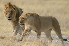 lions Arkivfoto