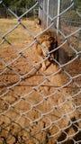 lions Royaltyfria Bilder