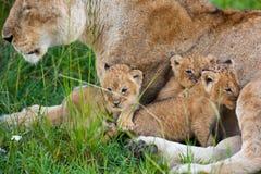 lions Royaltyfri Fotografi