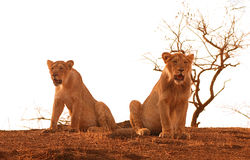 Lions. These are cubs of lion one is male & other female, who are still not separated from their mother, shot in Sasan gir n.p. of India Stock Image