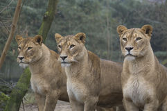 Lions. Three female lions waiting for food in a zoo Stock Photo