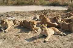 Lions photo stock