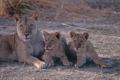 Lions. African lioness with her cubs Stock Photo
