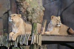 lions Photo libre de droits