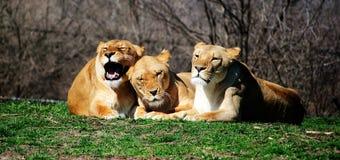 lions Photos libres de droits
