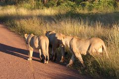 Lions. On road in safari camp Royalty Free Stock Images