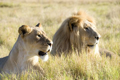Lions. A couple of lions looking in one direction Stock Photo