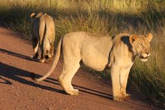 Lions. Standing along road in grassland Stock Photo